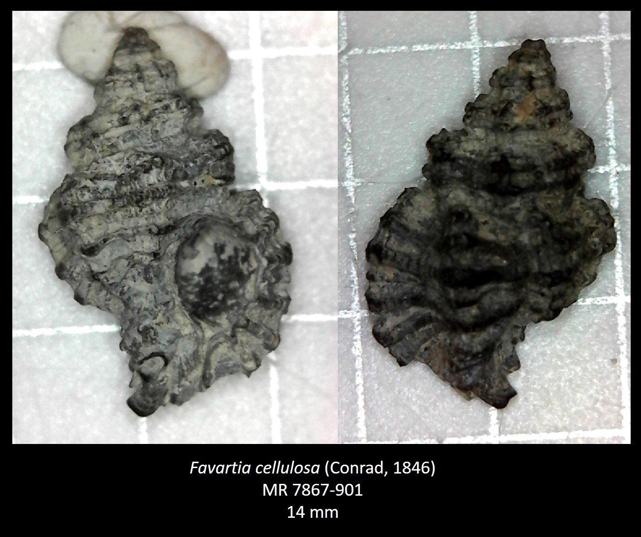 Favartia cellulosa
