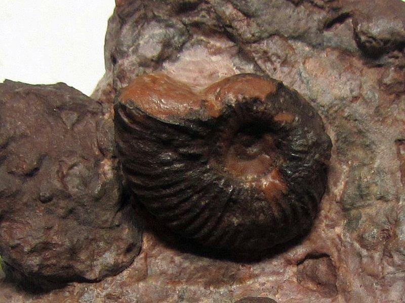 Schlotheimia sp. (Bayle 1878)