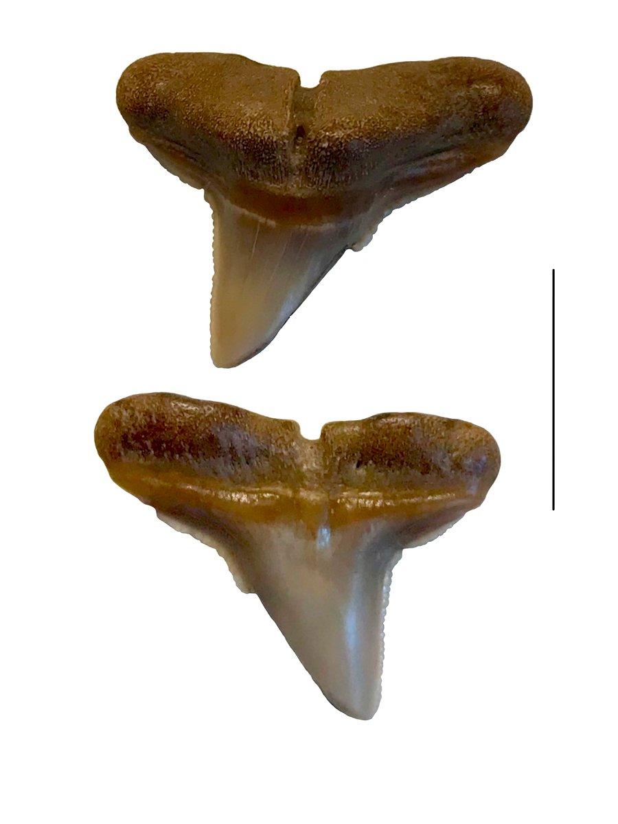 Hammerhead shark tooth