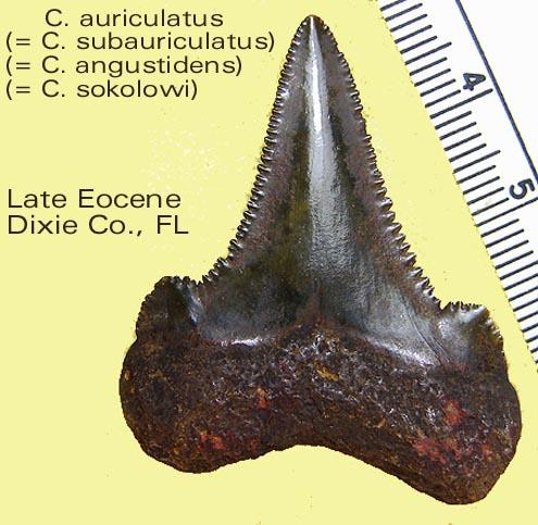 shark_auriculatussynonomy.jpg