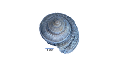 Small Wonder: Pennsylvanian Fossils of the Francis Shale, Ada OK