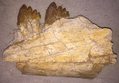 Basilosaurus rear jaw with molars