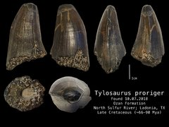 T. proriger Tooth Fossil Profile