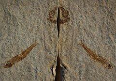 Prolebias cephalotes Oligocène Aix en Provence France