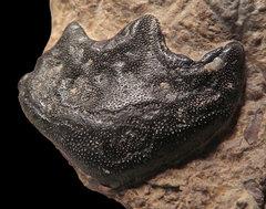 Ceratodus(lungfish)tooth