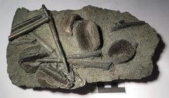 Ichthyosaur paddle bones
