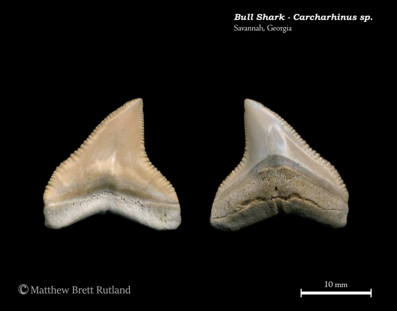 Carcharhinus sp. 03