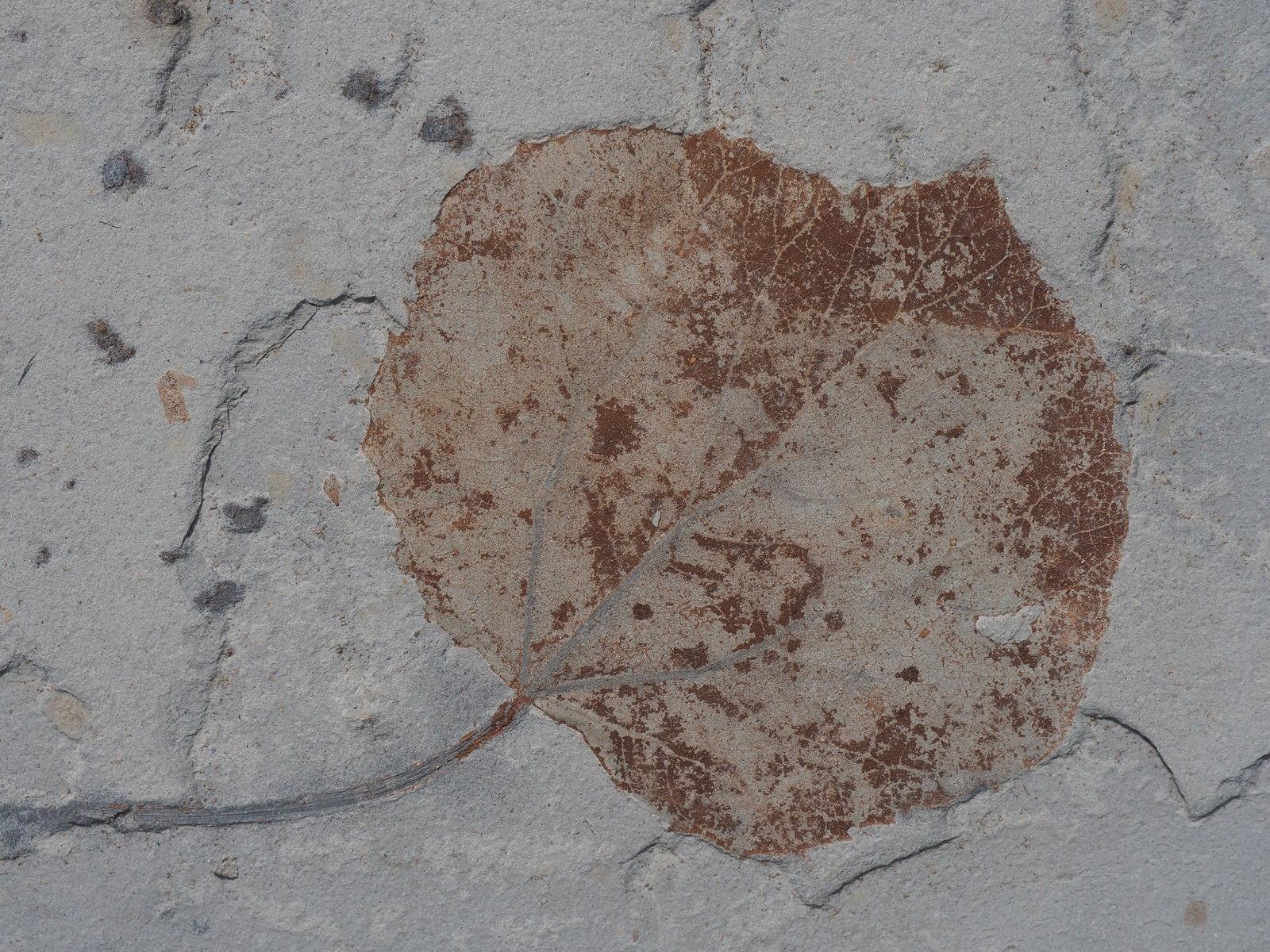 Populus willershausensis KNOBLOCH, 1998