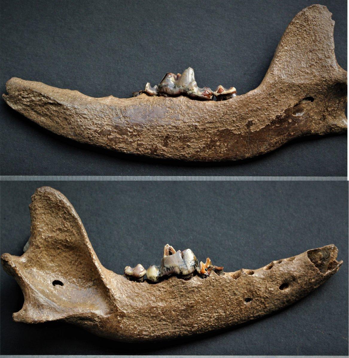 Canis sp Pleistocene the bank of the LENA river near of the city Yakutsk (Yakutia, North Siberia), Russia.