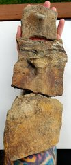 Cretaceous Protostega Turtle Fossils