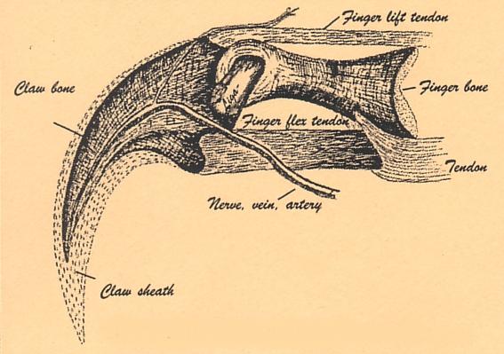 dino_allo_hand_claw_diagram_GASTON.jpg.b63d830459f400b206e61522128aad31.jpg