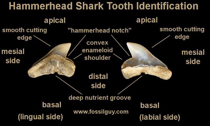 hammerhead-sharktooth-identification.jpg