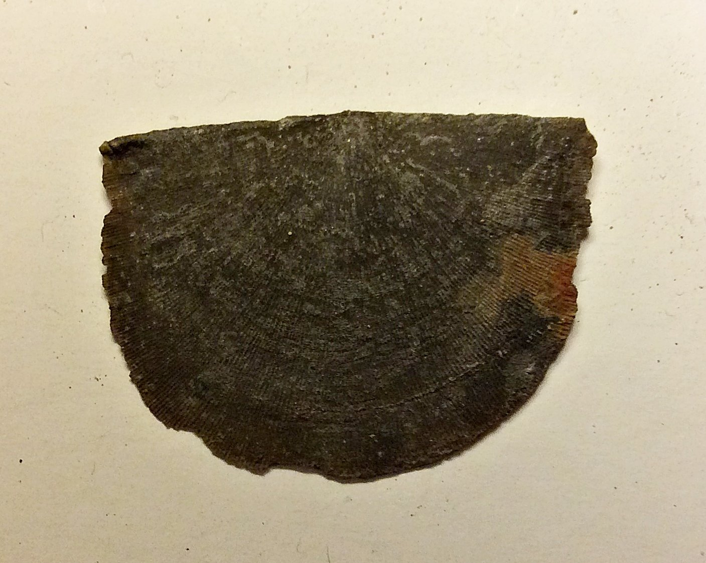 Strophomenid Brachiopod from Deep Springs Road