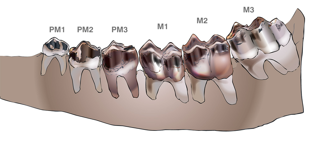 records_ageing_teeth_adult_jaw.jpg