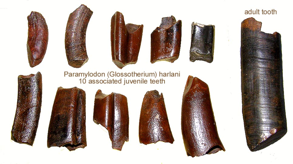 slothparamylodonteethjuvenile.JPG.50333a56ecb264ec250c1d8a7bb35810.JPG