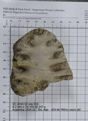 Ammonite 02 seg 01b.jpg