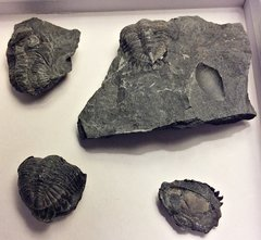 Greenops Trilobites from Deep Springs Road