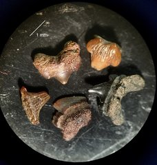 Micro shark teeth