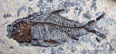 Jianghanichthys - Chan-Han fish fossil
