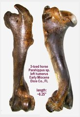 3-Toed Horse Humerus