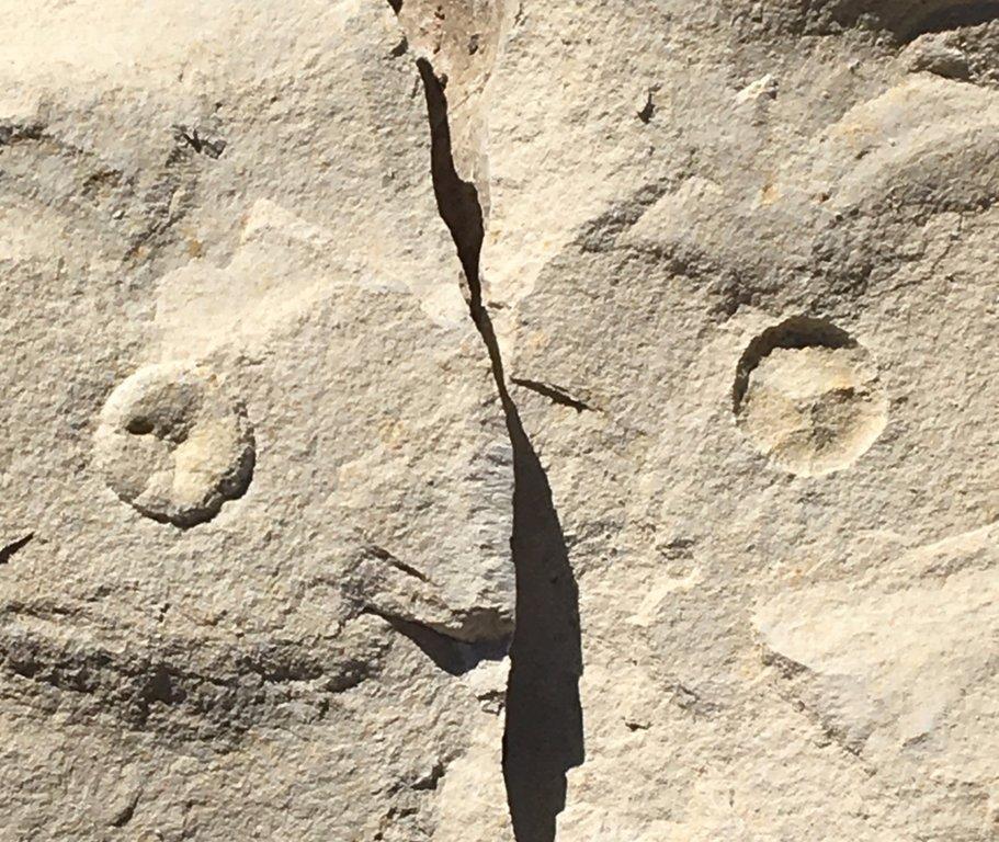 Kpg Coenholectypus hondoensis 1b Site 154 110219.jpg