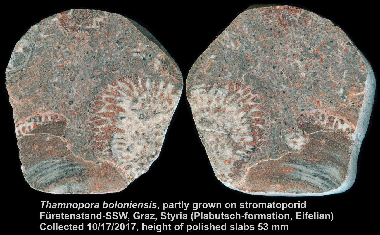 AN_Stromatopore_ThamnoporaBoloniensis_FuerstenstandSSW_AN3951_AN3952_Hoeherechts53mm_E_kompr.thumb.jpg.919096e830ac59e8110b45c8d3fa517a.jpg