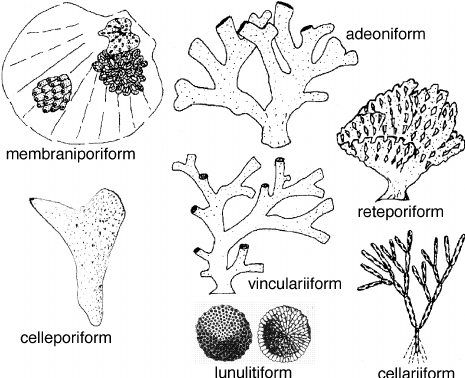 An-archetypal-classification-of-bryozoan-growth-forms-Seven-morphological-forms-are.png