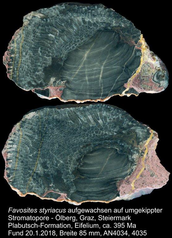 FavositesStyriacus_Stromatopore_Oelberg_AN4034AN4035_kompr.thumb.jpg.98a5e920254340a370c79376136ff993.jpg