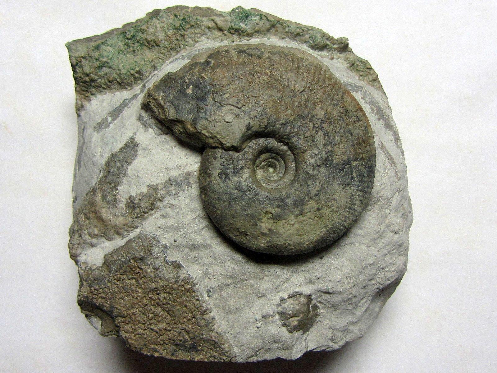Ringsteadia (Vineta) laevigyrata (Quenstedt 1888)