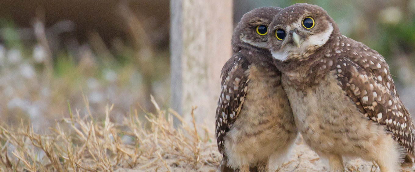 5de4bbd263139_jean_hall_burrowing_owls-hall-4_for_cards_copy1.thumb.jpg.94fe33d90e3be9ce11be1c6b15f8eb88.jpg