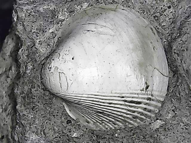 protocardia sp. kimmeridgian- tithonian.jpg