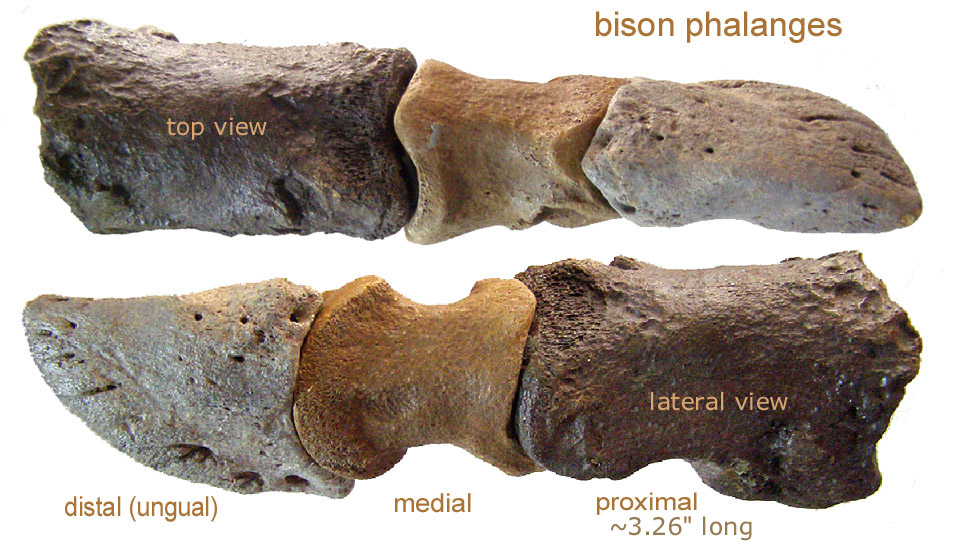 bison_phalanges.JPG