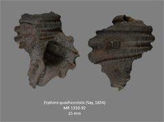 Ecphora quadricostata