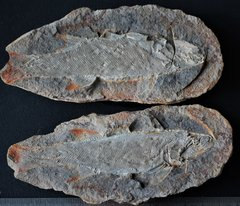 Pteronisculus cicatrosus WHITE, 1933 Triassic Sakamena Formation Ambilobe Antsiranana Province Diana Region Madagascar