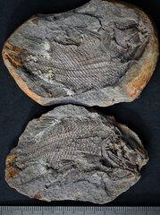 Parasemionotus labordei Priem, 1924 Lower Triassic Dienerian Ambilobe Madagascar