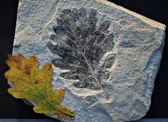 oak leaf, (Quercus).  Pléistocène  Re (Val Vigezzo) Italy