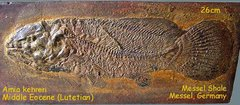 Eocene Dogfish