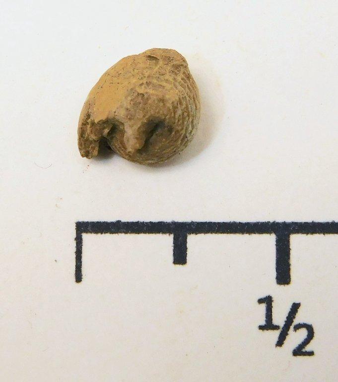 5e0f876d18385_GastropodEuphemitesenodus.thumb.JPG.a81f2325ddc3292bad7ab4c3056ee822.JPG