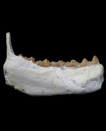 Leptadapis sp.jpg