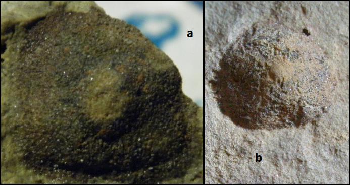 archaeocidaridae Karbonas.png