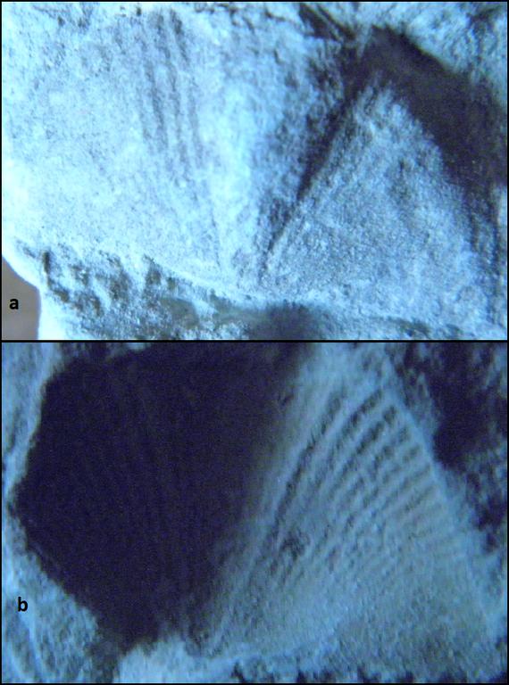 brachythyrina Vidurinis karbonas- permas.png