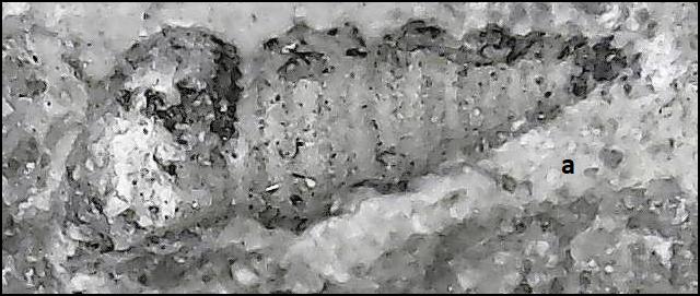 callispira Late Carboniferous.png