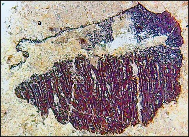 coelacanthidae Permas.png