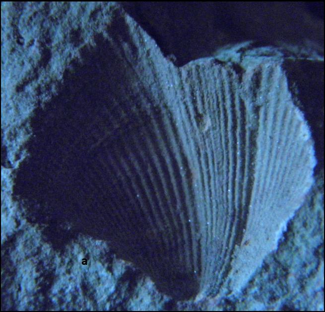 cyrtospirifer Vidurinis- Vėlyvasis karbonas.png