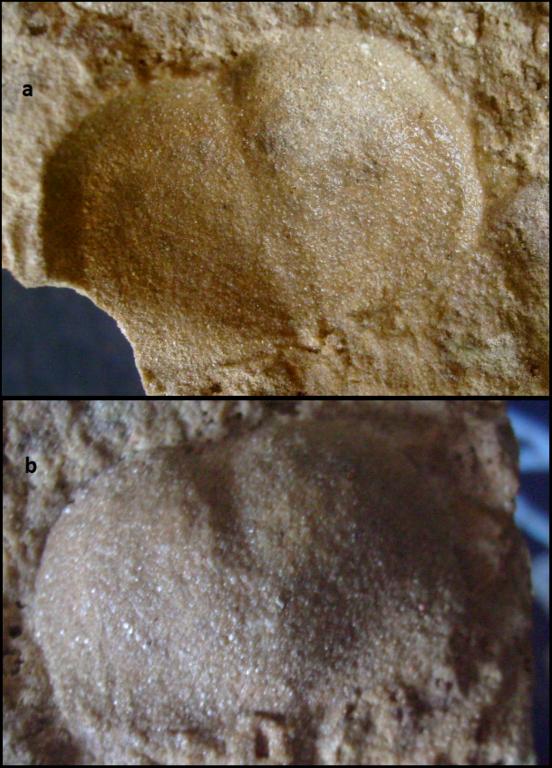 marginifera Permas.png