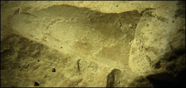 orthocerida Vidurinis Permas.png
