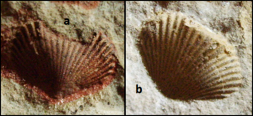 Pleuropugnoides flexistria Early Carboniferous.png