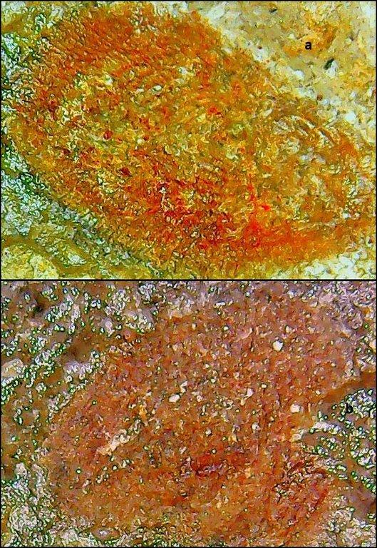 rhabdodermatidae 1 Karbonas.jpg