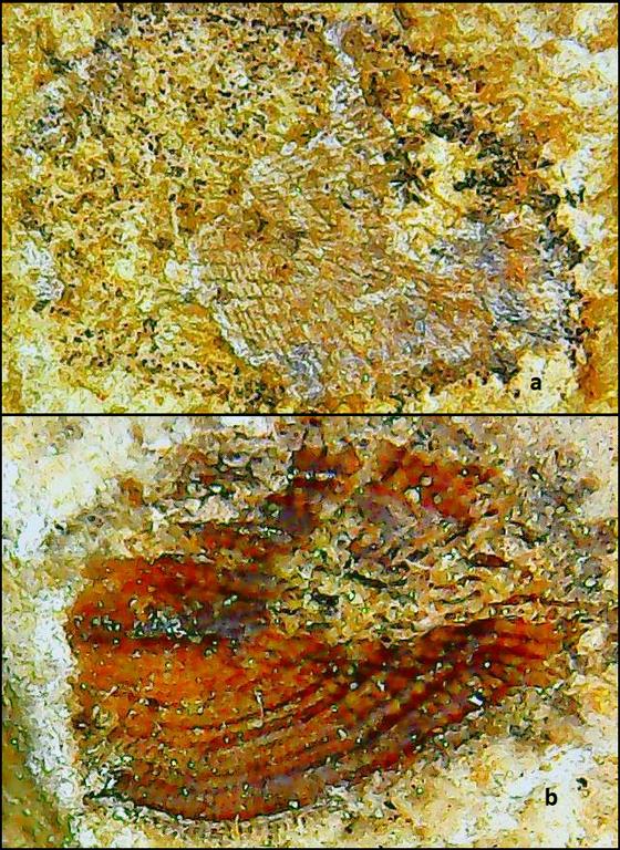 rhabdodermatidae 2 Karbonas.png