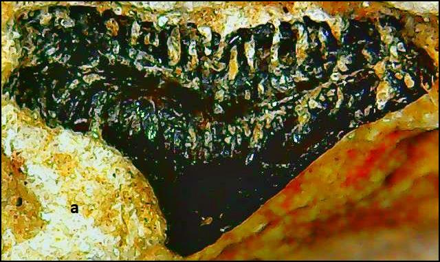 hybodontidae indet. Permas.png